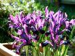 Iris 'Pauline' 10.3