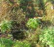 Pond, West Garden 27.11.11