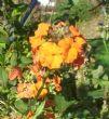 Erysimum linifolium 'Apricot Twist' 5.11.11