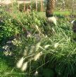 Pennisetum villosum 5.11.11