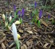white & purple crocus 22.2.11