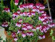 Pelargonium 'Oldbury Duet' 24.7.13
