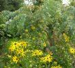 Rudbeckia & Acacia