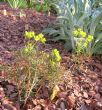 Euphorbia 29.4.11