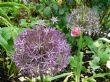 Allium christophii 12.6.12