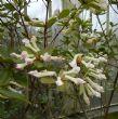 Rhododendron 'Gossamer White'