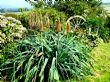 Kniphofia caulescens 11.9