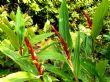 Cautleya spicata 11.9