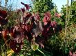 Cercis canadensis 'Forest Pansy' 12.11.13