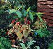 Begonia 'Red Undies' 12.11.13
