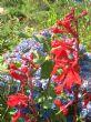 Lobelia cardinalis 'Queen Victoria' 29.8.10