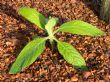 another Echium seedling 2.2.12