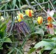 Fritellaria meleagris