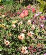 livingstone daisies-won't bother next year 2.9.10
