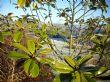 Magnolia grandiflora 'Gallissonniere' 19.1.11