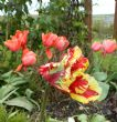 Tulipa 'Flaming Parrot' 8.4.12
