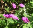 Geranium 'Patricia' 12.10.11