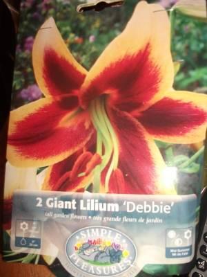Giant Lilium Debbie