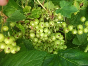 Currant bushes