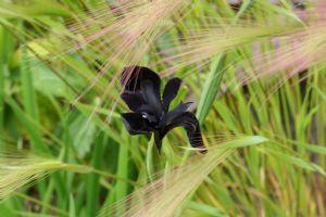 Iris 'Kilmurry Black'