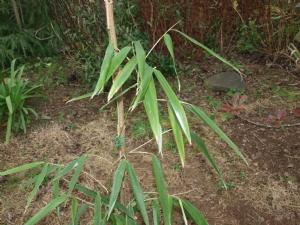 Bamboo or not bamboo?