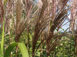 Miscanthus Sinensis The Plumes