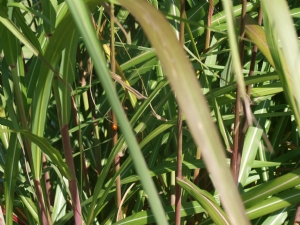 Miscanthus Sinensis Leaves