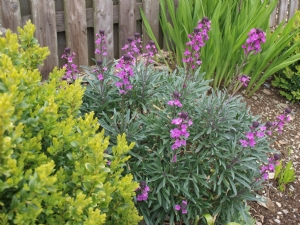 Bowles Perennial Wallflower