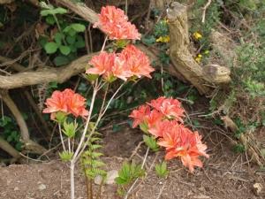 Specks Orange Azalea