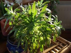 Green Aeonium