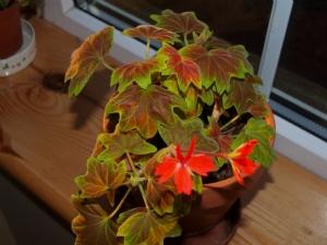 Pelargonium Vancouver Centennial