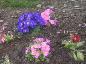 Colourful Primulas