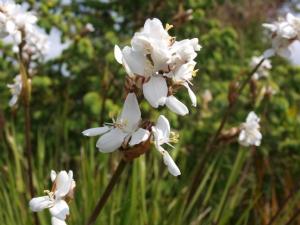 Libertia Gradiflora