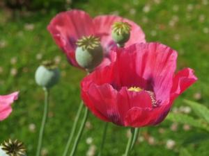 Poppy Pink Dawn