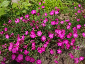 Dianthus for Drumanagh