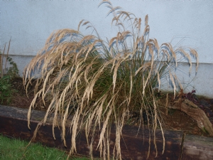 Stipa Calamagrostis Question