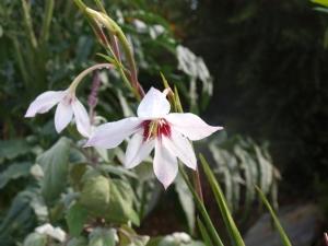 Gladioli callianthus
