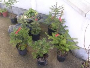 My new Christmas Trees