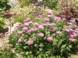 Erigeron Galore