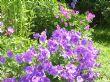 Purple Geranium & Geranium Psilostemon
