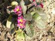 Primula Rosaleen