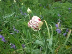 These bulbs planted by mistake but lovely. The new tulip fashion?