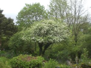 Hawthorn in bloom as beautiful as anything