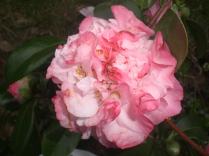 The new Camellia Nuccio's Jewel (Mt. Congreve)