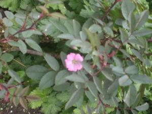 geranium fancying itself as a rose!