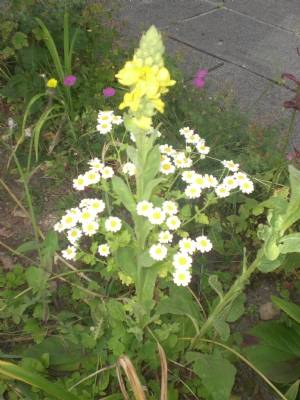 Mullein and Feverfew, unintentional but magic!