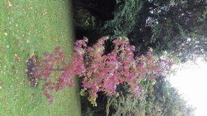 Liquidamber tree-to remember Anna's brother and planted by his grandchildren two years ago