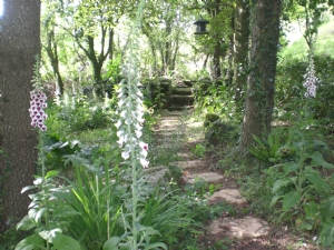 More foxgloves by the path