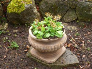 Valentine's pot with goldlace primula