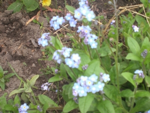Forget-me-nots for Ladygardener as promised.